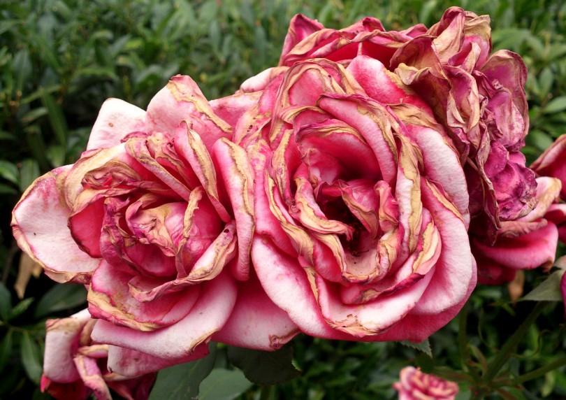 Vergängliches - Rosenblüten