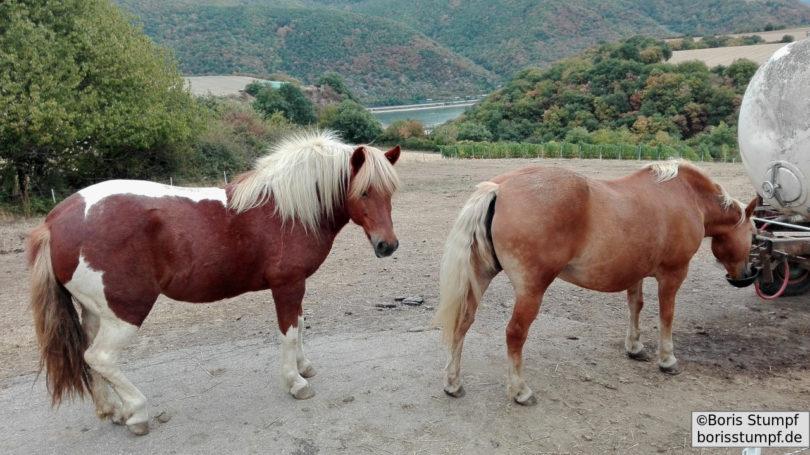 Pferde am Tränke-Anhänger