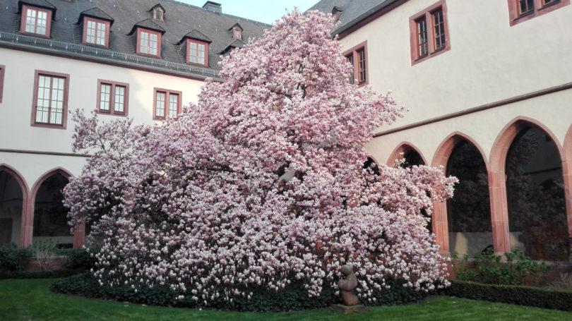 Magnolie im Karmeliterkloster Frankfurt