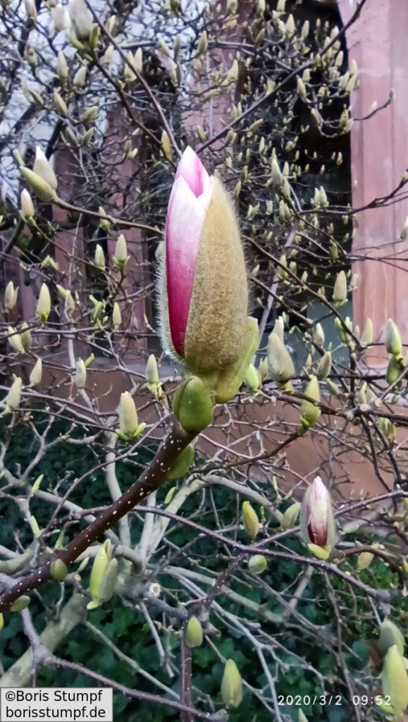 Magnolie - Frühlingsbeginn