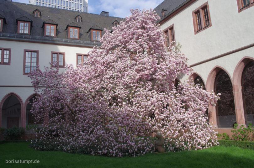 Magnolie im Institut für Stadtgeschichte Frankfurt Bild 1
